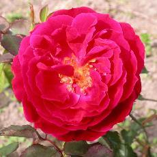 Rosa  'Docteur Jamain'