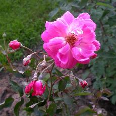 Rosa  'Fellemberg'