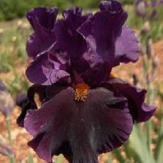 Iris  'Night Game'