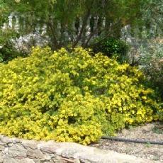 Acacia lasiocarpa