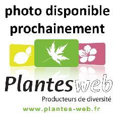 Acacia gracilifolia