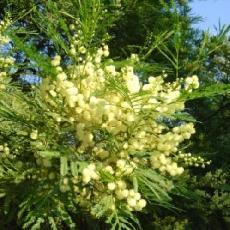 Acacia parramattensis