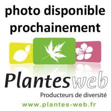 Cotoneaster harrovianus