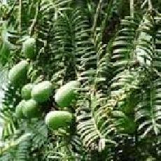 Torreya grandis