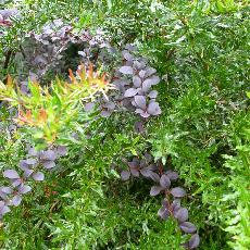 Berberis x ottawensis  'Auricoma'