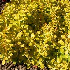 Berberis thunbergii  'Bonanza Gold'