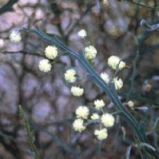 Acacia alata