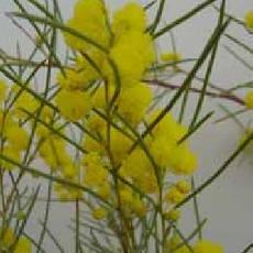 Acacia calamifolia