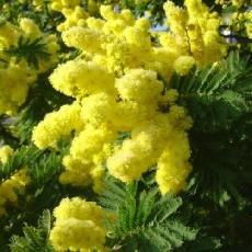 Acacia dealbata  'Mireille'