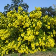 Acacia decurrens  'Rustica'