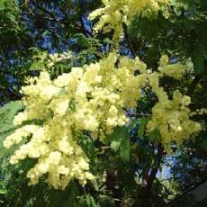 Acacia glaucocarpa
