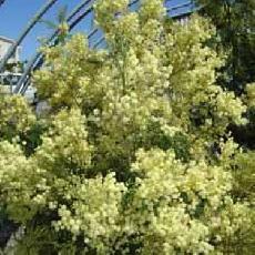 Acacia mearnsii  'Aestivalis'