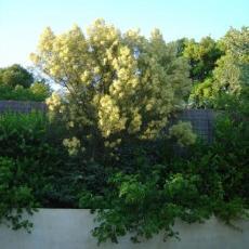Acacia muelleriana