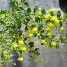 Acacia rotundifolia