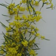 Acacia trineura