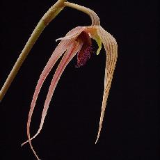 Bulbophyllum sulawesii