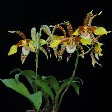 Rossioglossum grande