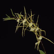 Brassia  'Rising Star'