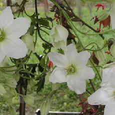 Clematis  'Avalanche'