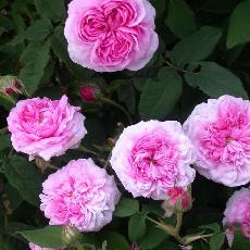 Rosa  'Aimable Amie'