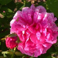 Rosa  'Belle Hélène'
