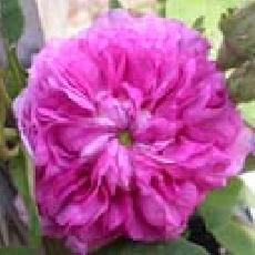 Rosa  'Bouquet de Vénus'