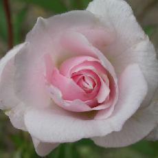 Rosa  'Merveille des Polyanthas'