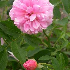 Rosa  'Primrose Sistau'