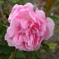 Rosa  'Princesse Joséphine de Flandre'