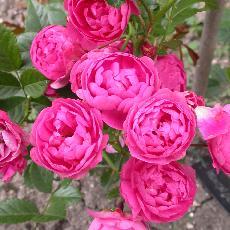 Rosa  'Renoncule'