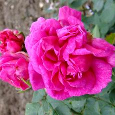 Rosa  'Amédée de Langlois'