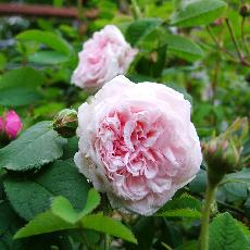 Rosa  'Captain Christy'