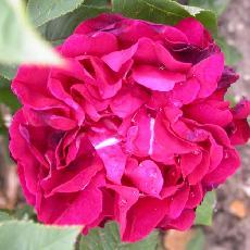 Rosa  'Dames patronnesses d'Orléans'