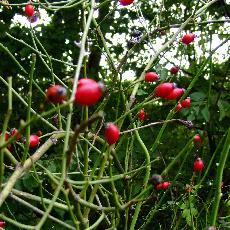 Rosa obtusifolia