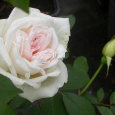 Rosa x odorata