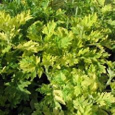 Artemisia vulgaris  'Orientalis Limelight'
