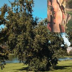 Betula dahurica