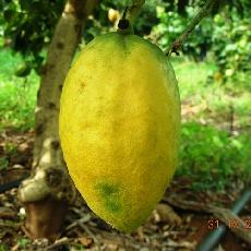 Citrus medica  'Ethrog'