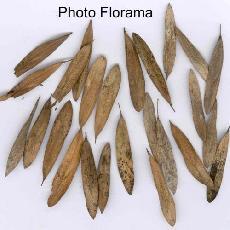 Fraxinus angustifolia subsp. syriaca