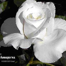 Rosa  'Annapurna'