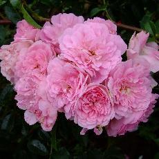 Rosa  'La Fraicheur'