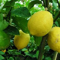Citrus limon  'Verna'