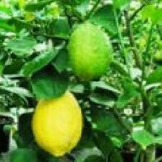 Citrus limon  'Malaga'