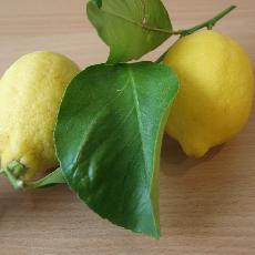 Citrus limon  'Menton'