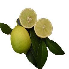 Citrus aurantifolia  'Kirck'