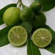 Citrus aurantifolia  'Mexicaine'