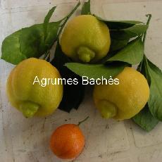 Citrus limetta  'bergamotier de Tunis'