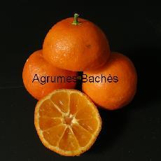 Citrus reticulata  'Fine'