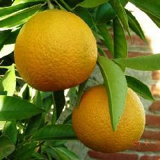Citrus reticulata  'Loretina'