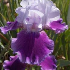 Iris  'Baliverne'
